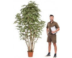 Pianta Bosco Ficus Hawaiian