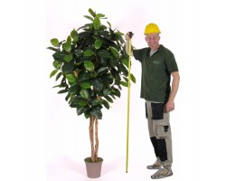 Ficus Elastica Tronco Normal da h. 170 a 300 cm.