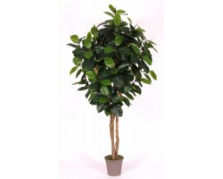 Ficus Elastica Tronco Normal