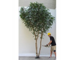 Ficus Luxe Giant Bosco, Grove Big.