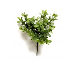 Boxwood Murraya