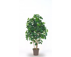 Schefflera Bosco Small in varie altezze da 150 a 200