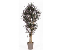 Dracena Mini Multicolor - In varie altezze da 150 a 200 cm.