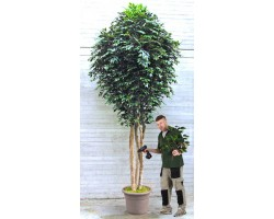 Ficus Artificiale Normal Verde Giant da Mt. 3,5 a Mt. 5 - Venduto solo Telefonicamente