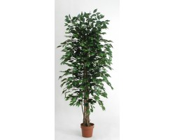 Ficus Low Cost Verde disponibile da cm. 125 a cm. 200