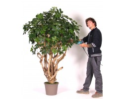 Schefflera Artificiale, tronco Tobago, altezza 200 o 225 cm.