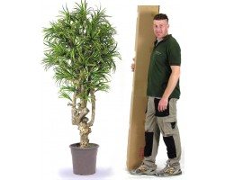 Mini Dracena con Tronco Naturale