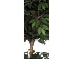 Ficus Normal Foglia Verde - 2 Ball